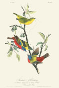 After John James Audubon - Painted Bunting