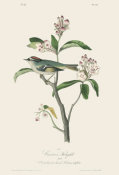 After John James Audubon - Cuvier's Kinglet