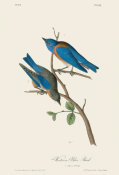 After John James Audubon - Western Blue Bird