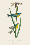 After John James Audubon - Blue Yellow-backed Wood Warbler