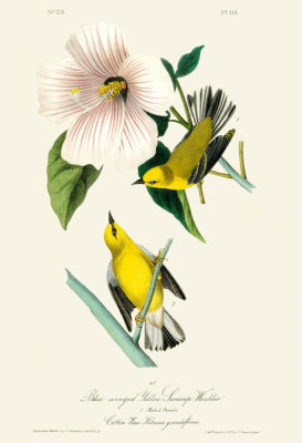 After John James Audubon - Blue-winged Yellow Swamp Warbler