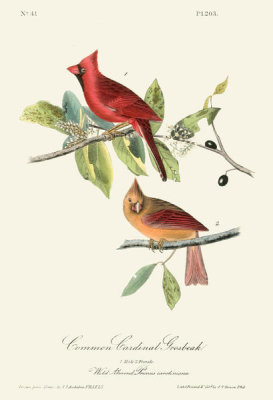 After John James Audubon - Common Cardinal Grosbeak