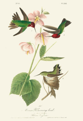 After John James Audubon - Anna Hummingbird