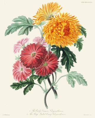 Charles Fox - Early Crimson Chrysanthemum, and Large Quilled Orange Chrysanthemum