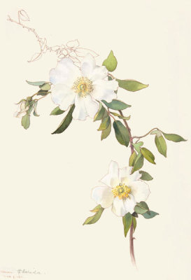 Margaret Neilson Armstrong - White Clematis