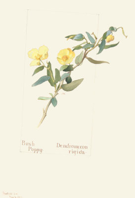 Margaret Neilson Armstrong - Bush Poppy, Dendromecon rigida