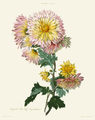 William Say - Changeable Pale Buff Chrysanthemum