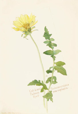 Margaret Neilson Armstrong - Cut-leaved Balsam Root, Balsamorrhiza macrophylla