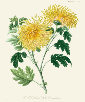 William Jackson Hooker - The Quilled Flamed Yellow Chrysanthemum