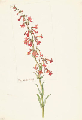 Margaret Neilson Armstrong - Penstemon Parryi, 1909-14