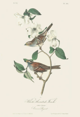 After John James Audubon - White-throated Sparrow